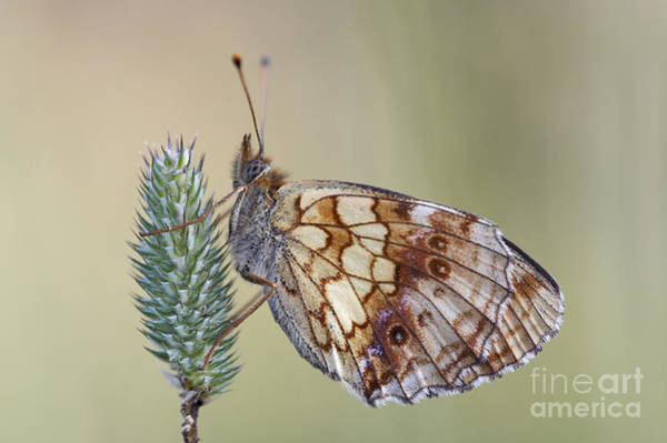 Wall Art - Photograph - Satyr Butterfly On Blade Of Grass by Michal Boubin