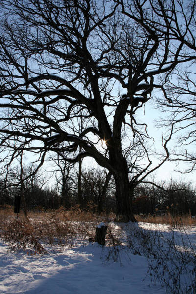 Photograph - Savanna Winter Oak by Dylan Punke