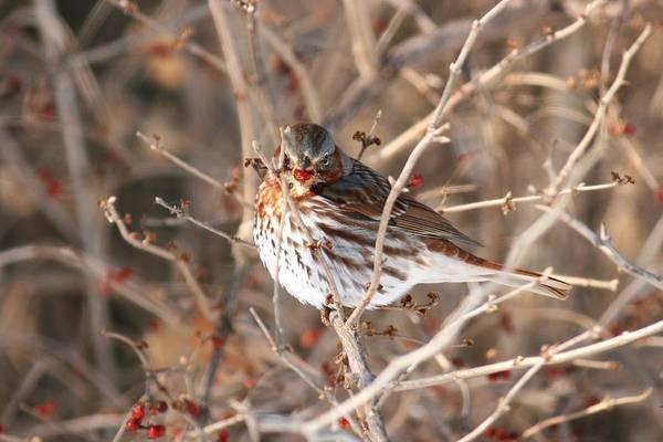 Photograph - Savannah Sparrow 2 by David Dunham