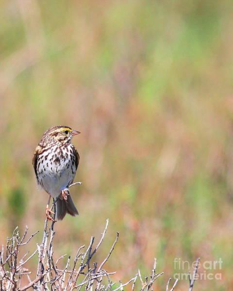 Photograph - Savannah Sparrow . 40d5883 by Wingsdomain Art and Photography