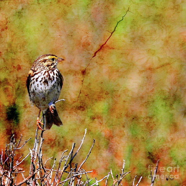Photograph - Savannah Sparrow . Texture . Square . 40d5883 by Wingsdomain Art and Photography