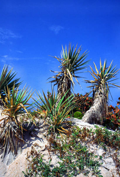Photograph - Saw Palmetto Canaveral National Seashore by Thomas R Fletcher