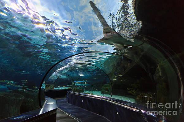 Photograph - Sawfish In The Aquarium by Jill Lang