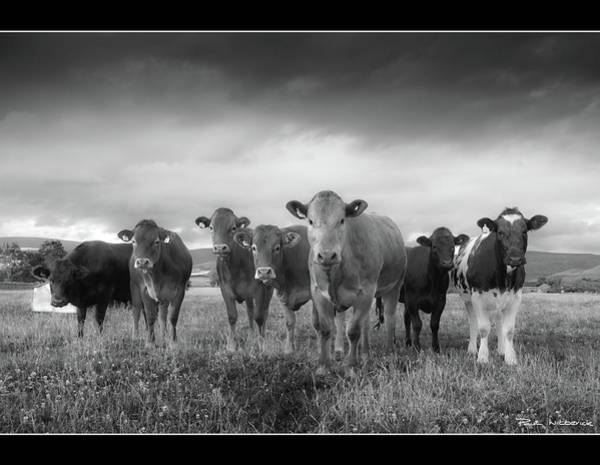 Domestic Cattle Photograph - Say Cheese!! by Paul Witterick Photography
