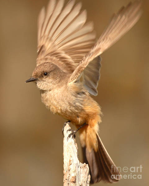 Wall Art - Photograph - Say's Phoebe All A-flutter by Max Allen