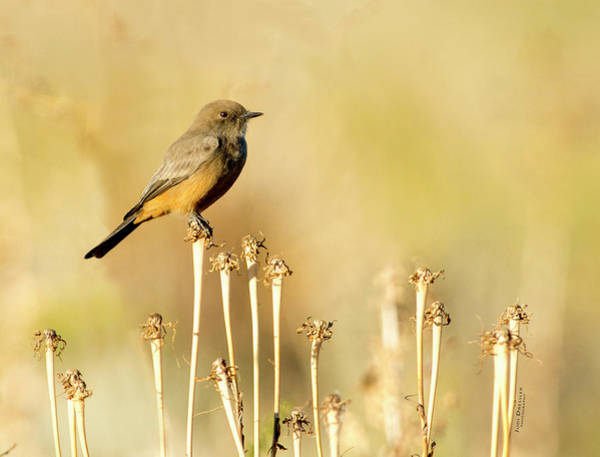 Photograph - Say's Phoebe by Judi Dressler