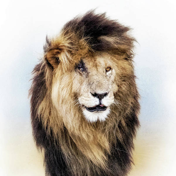 Wall Art - Photograph - Scar Lion Closeup Square by Susan Schmitz