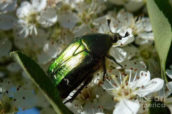 Photograph - Scarab Metallic Green 3 by Jean Bernard Roussilhe