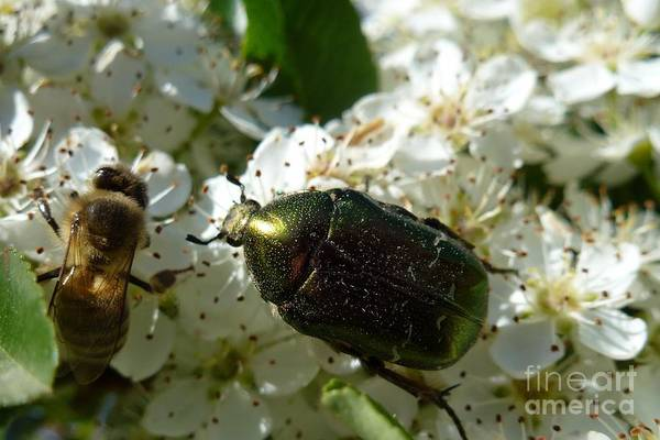 Photograph - Scarab Metallic Green And Bee by Jean Bernard Roussilhe