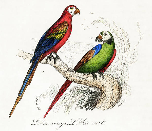 Green Parrot Drawing - Scarlet And Green Macaw by Unknown