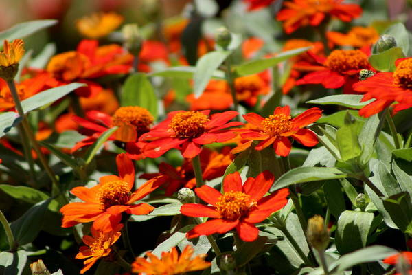 Photograph - Scarlet And Pumpkin Fall Zinnias by Colleen Cornelius