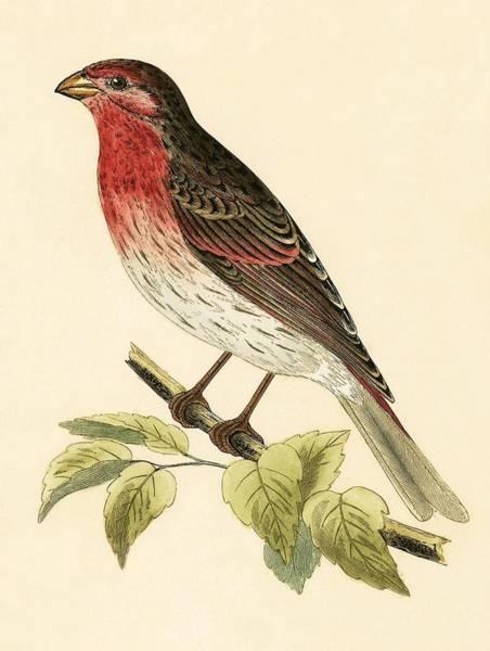 Scarlet Wall Art - Painting - Scarlet Bullfinch by English School