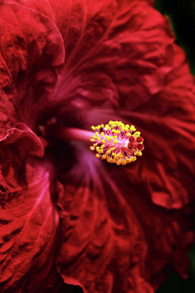Photograph - Scarlet Hibiscus by Jessica Jenney