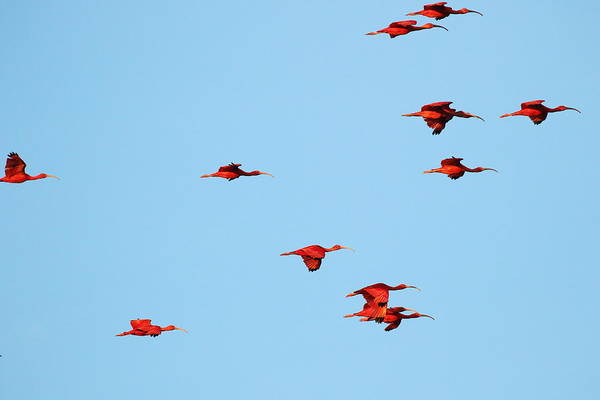 Photograph - Scarlet Ibis At Caroni Swamp by Steve Wolfe