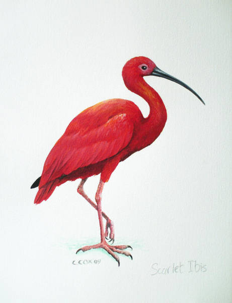Ibis Painting - Scarlet Ibis by Christopher Cox