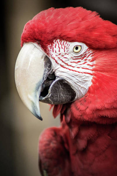 Photograph - Scarlet Macaw by Don Johnson