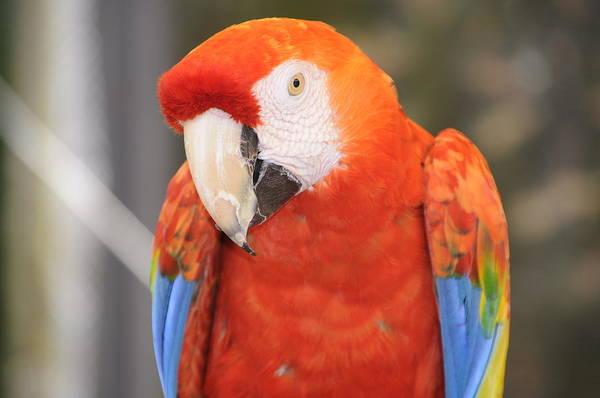 Photograph - scarlet Macaw by Michael Raiman