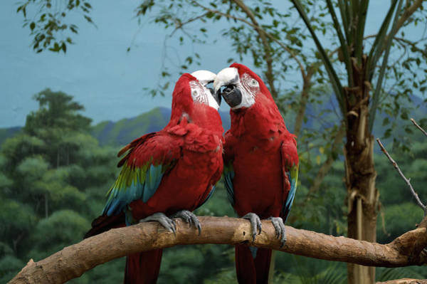 Wall Art - Photograph - Scarlet Macaws Kissing by Thomas Woolworth