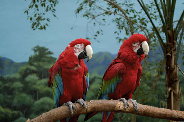 Doona Mixed Media - Scarlet Macaws Spring Time Courting by Thomas Woolworth