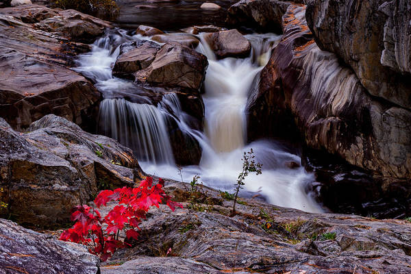 Photograph - Scarlet Maple In Coos Canyon by Jeff Folger
