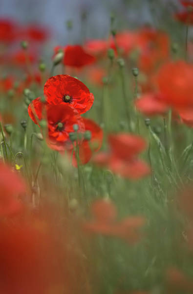 Photograph - Scarlet Meadow by Peter Walkden
