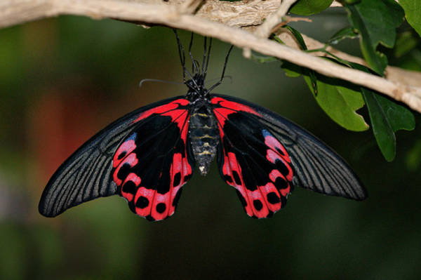 Photograph - Scarlet Mormon Butterfly by Sandy Keeton
