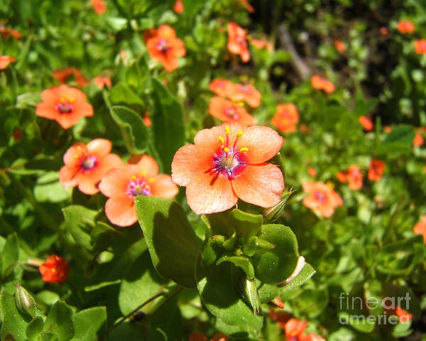 Photograph - Scarlet Pimpernel Flower Photograph by Kristen Fox