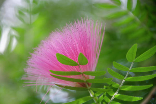 Photograph - Scarlet Powder Puff Tree by Bill Cannon