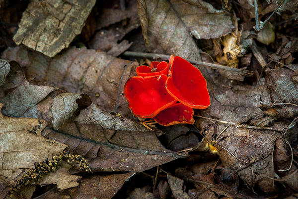 Photograph - Scarlet Underfoot by Jeff Phillippi