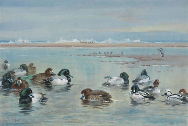Wall Art - Painting - Scaup, Golden Eye And Smew by Archibald Thorburn