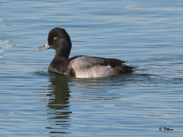 Photograph - Scaup On The Creek by Dan Williams