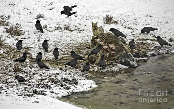 Photograph - Scavengers Of Yellowstone by Craig J Satterlee