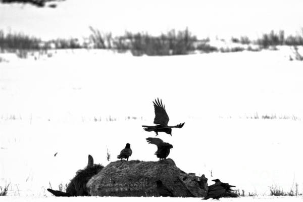 Photograph - Scavenging The Bison Corpse Black And White by Adam Jewell