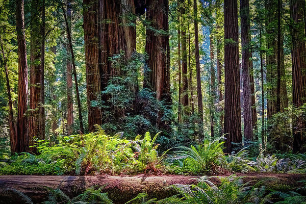 Photograph - Scene From Stout Grove - Redwood Park  by Stuart Litoff