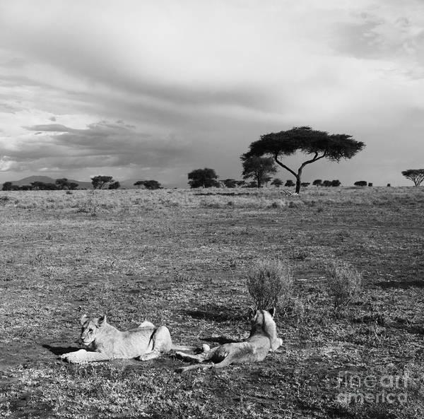 Photograph - Lion Pause by Chris Scroggins