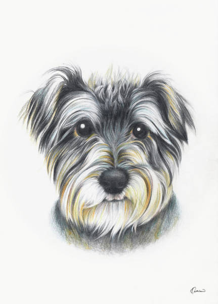 Mutt Drawing - Schnauzer 02 by Kathleen Wong