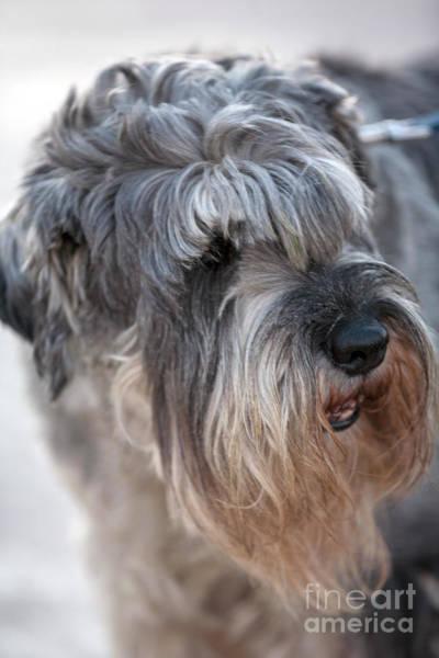 Photograph - Schnauzer Dog Portrait by Heiko Koehrer-Wagner