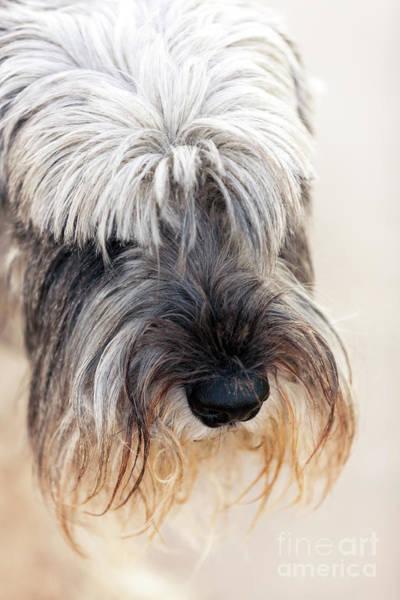 Photograph - Schnauzer Pet Portrait by Heiko Koehrer-Wagner