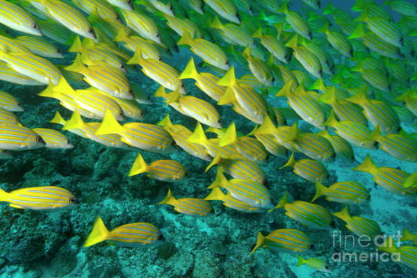 Wall Art - Photograph - School Of Blue Stripe Snapper by Sami Sarkis