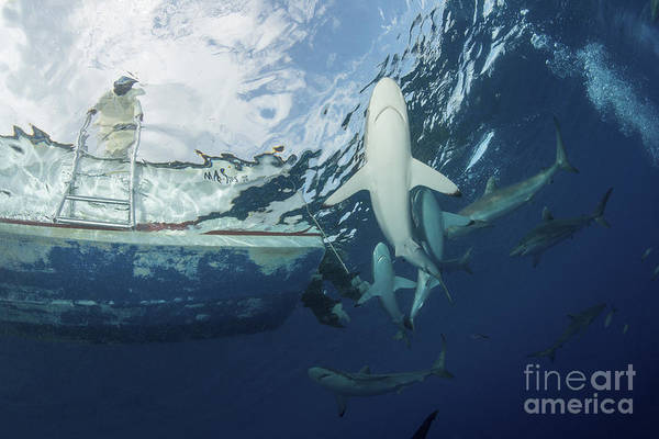 Carcharhinidae Photograph - School Of Silky Sharks Under A Fishing by Mathieu Meur