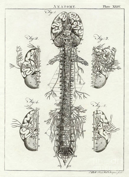 Nerves Drawing - Scientific Diagram Of The Brain And Spinal Column by Mary Evans Picture Library