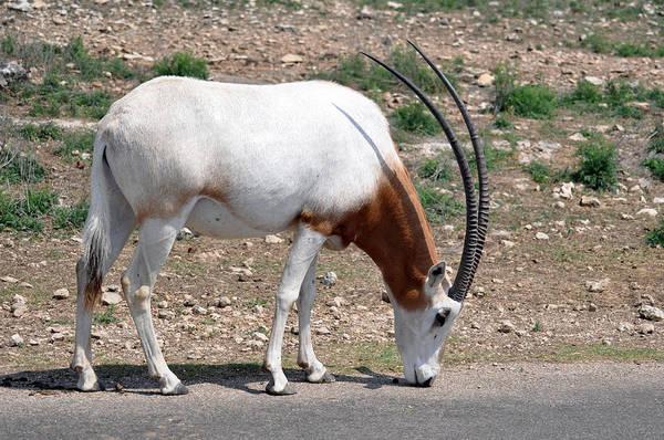 Blanton Wall Art - Photograph - Scimitar Horned Oryx by Teresa Blanton
