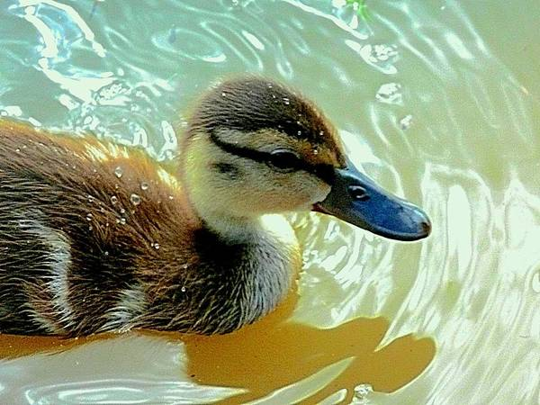 Photograph - Scioto River Duckling by Beth Akerman