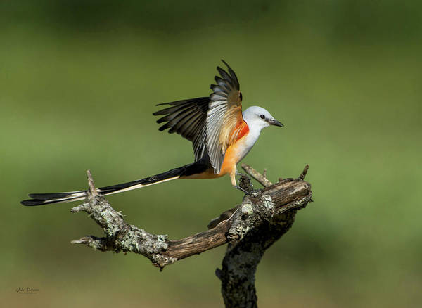 Photograph - Scissor-tailed Flycatcher by Judi Dressler