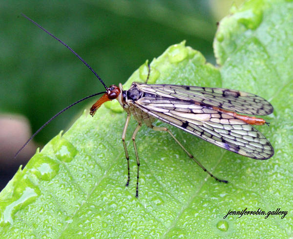 Photograph - Scorpion Fly by Jennifer Robin