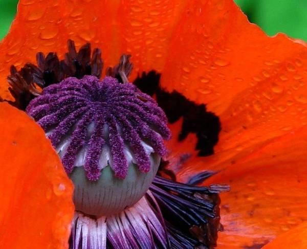 Purple Carrot Photograph - Scottie by Priscilla Richardson