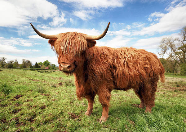 Farmhouse Photograph - Scottish Highland Cow - Trossachs by Grant Glendinning