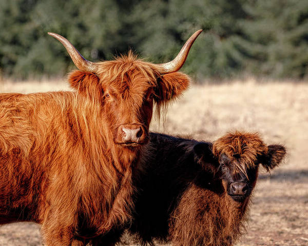Photograph - Scottish Highland Momma And Baby by Wes and Dotty Weber