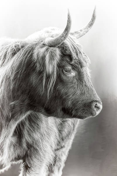 Photograph - Scottish Highlander Black And White by Wes and Dotty Weber