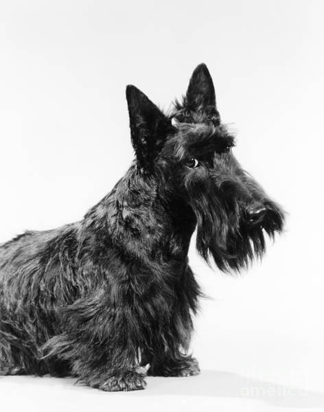 Photograph - Scottish Terrier by H Armstrong Roberts and ClassicStock